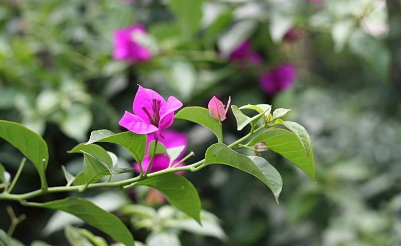 bougainvillea-plant_20 (1)
